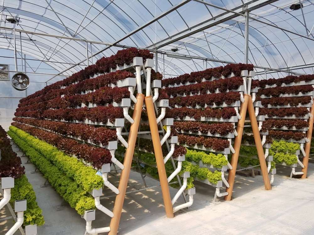 Japan Company Plans Hydroponic Veggie Farm in Indonesia