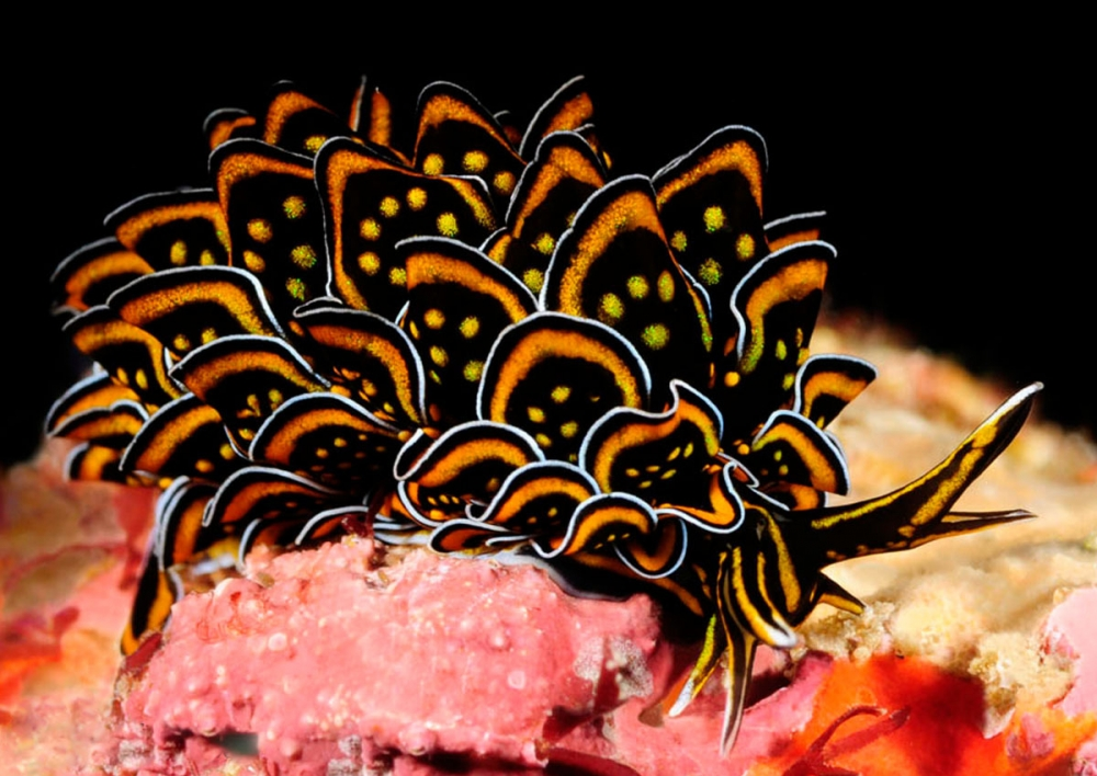 Stunning Sea Slugs from Southeast Asia
