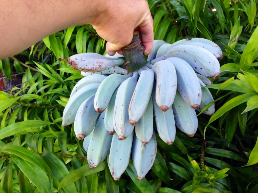 Do You Know These Blue Java Bananas that Taste Like Ice Cream Originated from Southeast Asia?