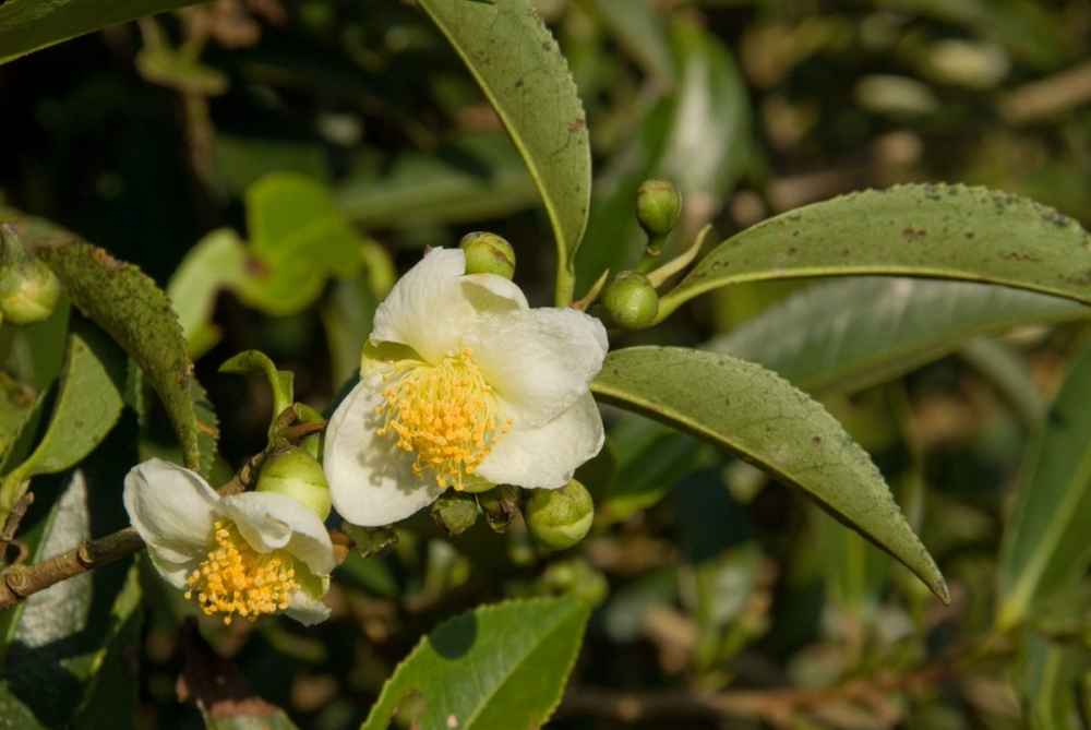 New Tea Plant Discoveries In Southeast Asia Bring Hope, Benefit For World's Conservation