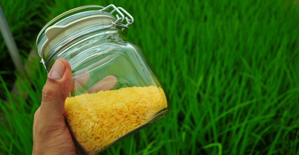 Meet the First Country to Approve Genetically Modified 'Golden rice' for Commercial Production
