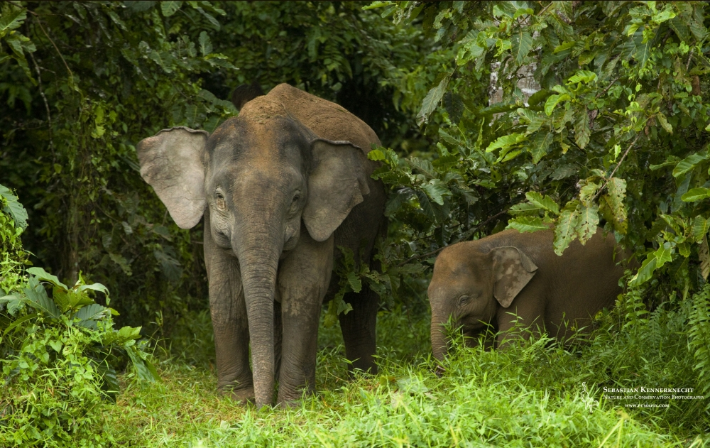 There Had Been Elephants in Borneo for 18 Millenia