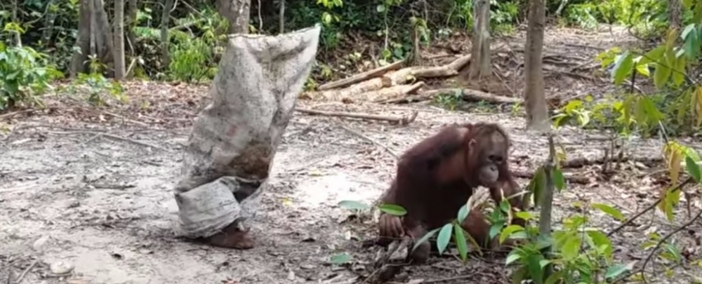 VIDEO: This Adorable Orangutan Wants Attention And It's Everything We Need Right Now