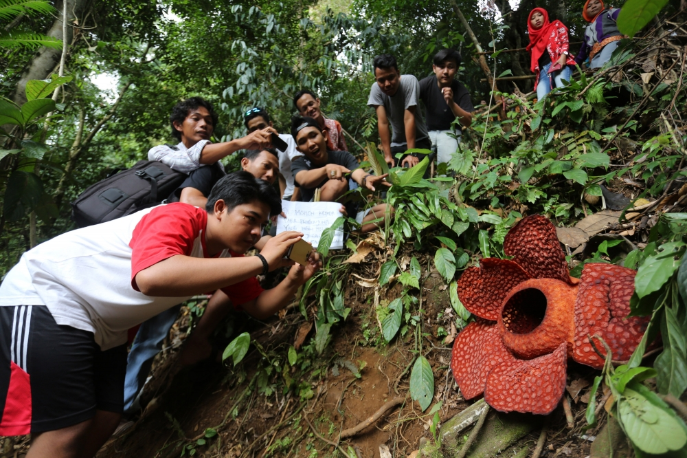 Rafflesia Flowers Bloom in Indonesia's Bengkulu