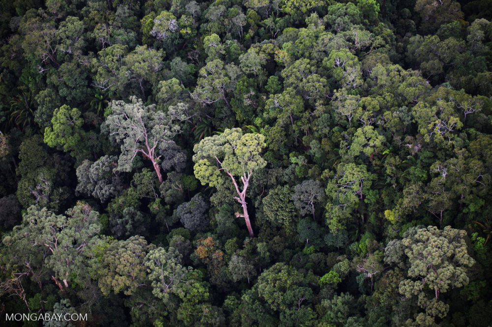 Meet World's Tallest Tropical Trees. Yes, It's in Southeast Asia