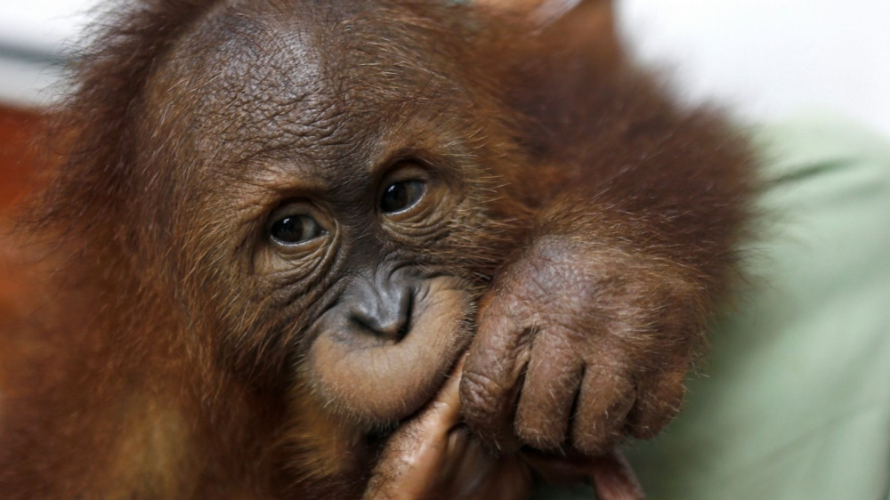 Thailand Returns Orangutans to Their Indonesian Homeland