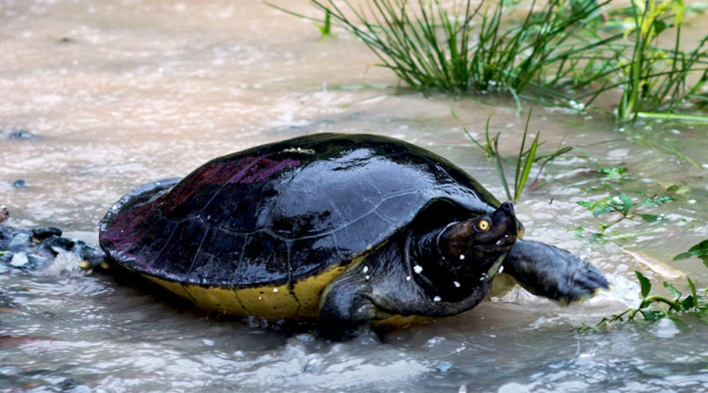 Cambodia Discovers Nest of Critically Endangered 'Royal Turtles'
