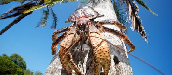 Hoooly Crab! Meet The Largest Land Arthropod