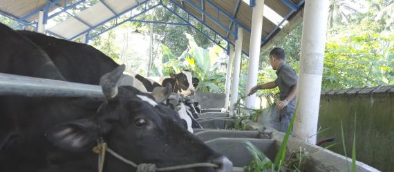Cow Poop is Not Useless, It Can Power Your Home